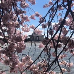 DC and Cherry blossoms