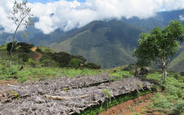 Coca seedlings growing in Yungas, Bolivia by Zoe Pearson